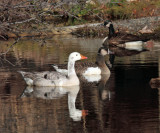 Canada Goose & Domestic & Hybrid Goose