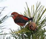 Red Crossbill - Loxia curvirostra