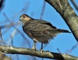 Sharp-shinned Hawk - Accipiter striatus