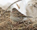 Vesper Sparrow - Pooecetes gramineus