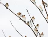 Snow Buntings - Plectrophenax nivalis & Lapland Longspur - Calcarius lapponicus