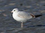 Ring-billed Gull - Larus delawarensis (immature)