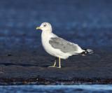 Mew Gull - Larus canus