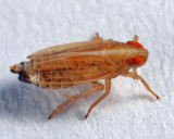 Kelisia sp.