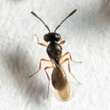 Trimorus sp.