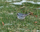 Black-throated Gray Warbler - Setophaga nigrescens