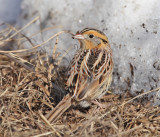 Le Conte's Sparrow - Ammodramus leconteii