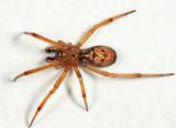 Enoplognatha caricis