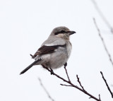 Northern Shrike - Lanius excubitor