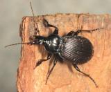 Ground Beetles - Subfamily Carabinae