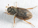 Helophorus lineatus