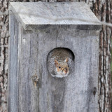 Eastern Gray Squirrel - Sciurus carolinensis
