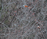 Fieldfare - Turdus pilaris