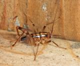 Ceuthophilus sp.