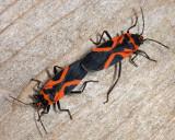 False Milkweed Bugs - Lygaeus turcicus