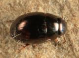Paracymus sp.