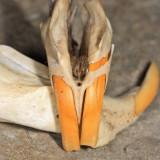 Meadow Vole - Microtus pennsylvanicus (upper jaw bones)