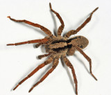 Wolf Spiders - Genus Gladicosa