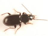 Pterostichus patruelis