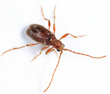 Spider Beetle - Ptinus villiger