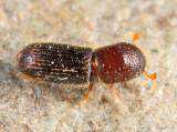 Xyleborinus sp.