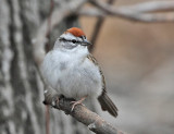 Chipping Sparrow - Spizella passerina