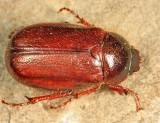 Phyllophaga sp.