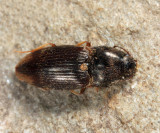 Abbreviated Wireworm - Hypnoidus abbreviatus
