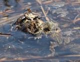American Toad - Anaxyrus americanus