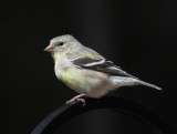 American Goldfinch - Spinus tristis  (female)