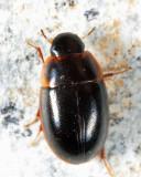 Cymbiodyta sp.