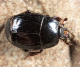Margarinotus marginicollis