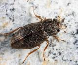 Helophorus nitiduloides