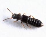 Carpelimus sp.