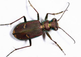 Purple Tiger Beetle - Cicindela purpurea