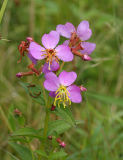Meadow Beauty - Rhexia virginica