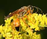 Sphex ichneumoneus - Great Golden Digger Wasp