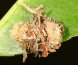 Lacewing larva camoflaged in trash