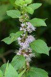 Wild Mint - Mentha arvensis