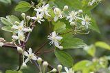Sweet Autumn Clematis - Clematis virginiana