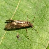 Netspinning Caddisfly - Hydropsychidae