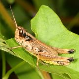 Marsh Meadow Grasshopper - Chorthippus curtipennis