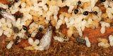 Acrobat Ants - Crematogaster