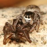 Habronattus sp. (eating another spider)