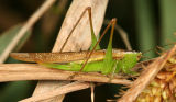 Slender Meadow Katydid - Conocephalus fasciatus (female)