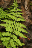 Marsh Fern - Thelypteris palustris