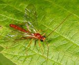 Ctenopelmatinae