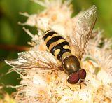 Syrphus sp.