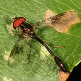 Ocyptamus fascipennis