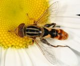 Syrphid Flies - tribe Eristalini